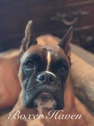 Boxer.jpg