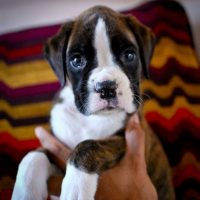 Boxer Puppies For Sale In Arizona Boxer Breeders And Information