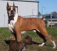 Boxer Puppies For Sale In Wisconsin Boxer Breeders And Information