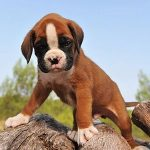 Boxer Temperament: Is a Boxer a Good Breed for You?