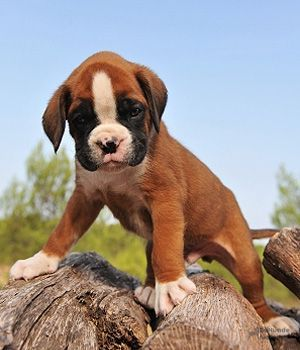 Boxer Temperament