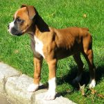 The Mini Boxer : A Loyal Friendly Hybrid Dog